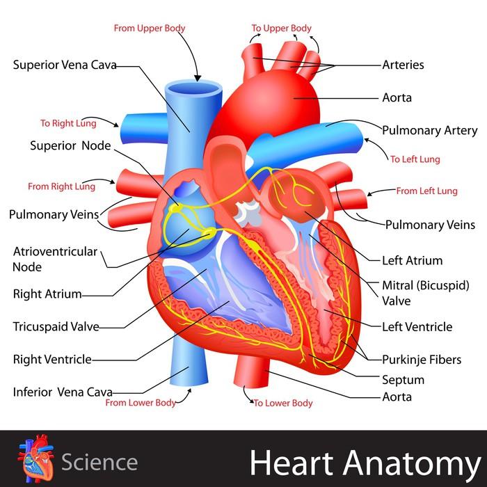 Aufkleber Anatomie des Herzens • Pixers® - Wir leben, um zu verändern