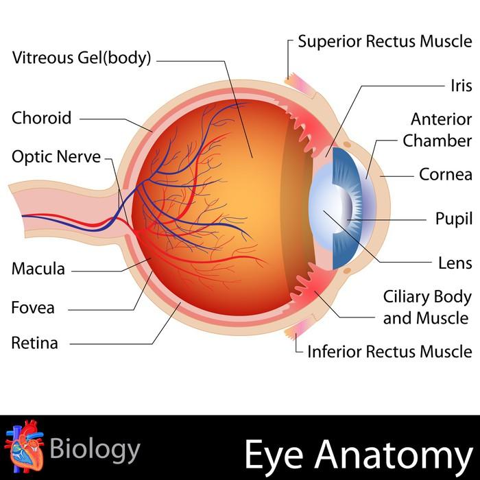 Anatomy of Eye Poster • Pixers® • We live to change