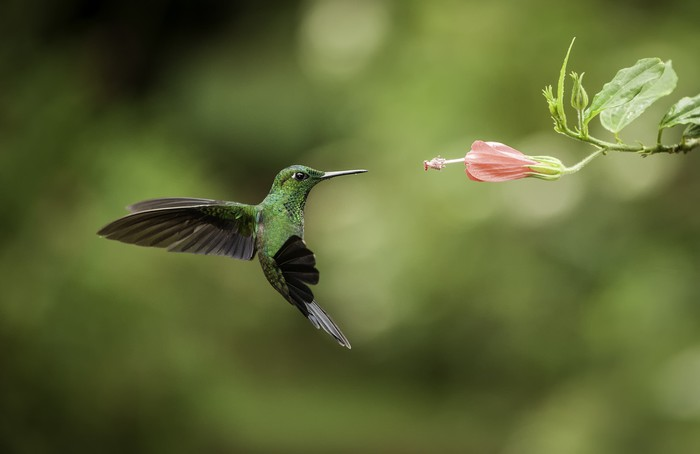 Vinylová fototapeta Stripe-tailed Hummingbird - Vinylová fototapeta