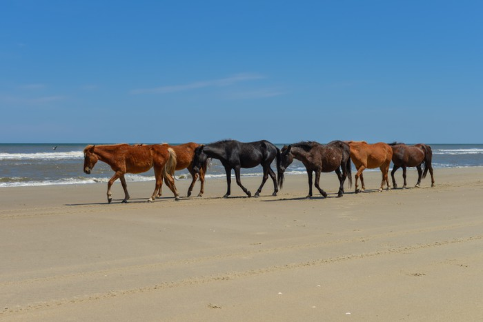 Spanish mustangs wild horses on the beach in north carolina wall spanish mustangs wild horses on the beach in north carolina vinyl wall mural mammals sciox Choice Image