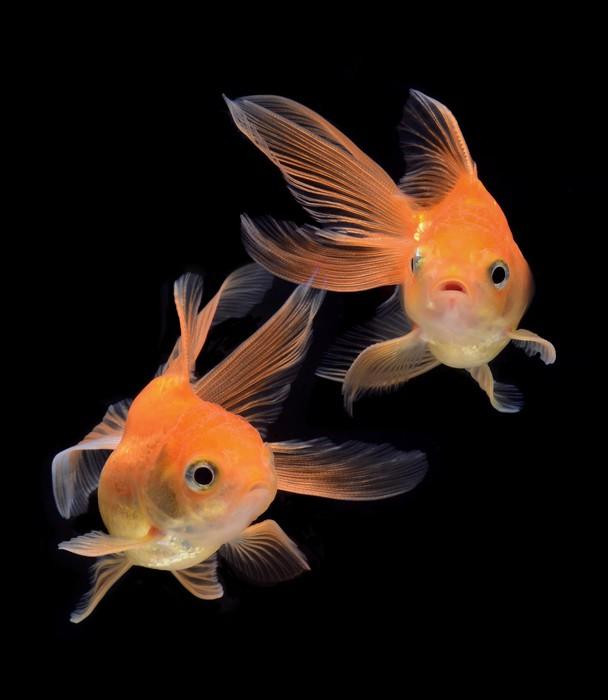 Sticker poisson rouge isol sur fond noir pixers nous for Poisson rouge a acheter