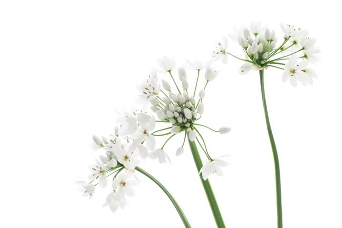 Vinylová Tapeta Allium neapolitanum izolovaných na bílém pozadí - Květiny