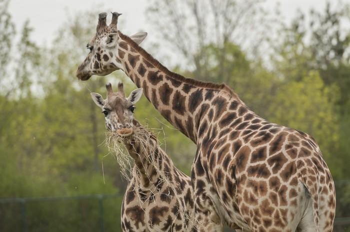 Vinylová fototapeta Žirafa (Giraffa camelopardalis) - Vinylová fototapeta