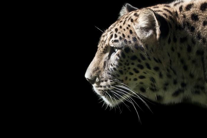 Vinylová Tapeta Krásná Leopard portrét na černém pozadí - Savci