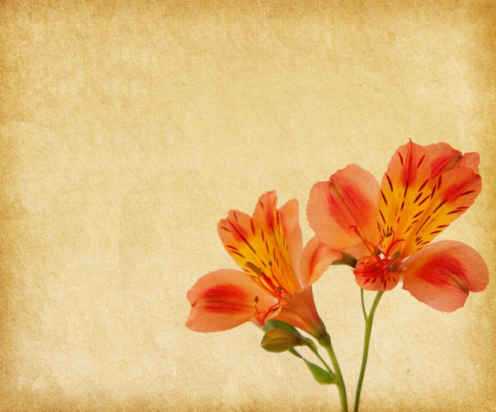 Vinylová Tapeta Starý papír pozadí s Alstroemeria. - Květiny