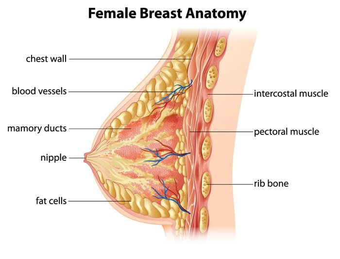 Vinilo Pixerstick Anatomía femenina de Mama • Pixers® - Vivimos para ...