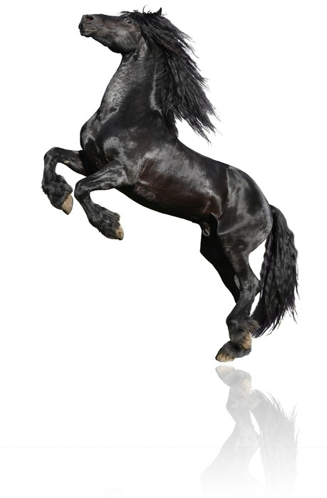 Vinylová fototapeta Black Stallion Na Bílém - Vinylová fototapeta