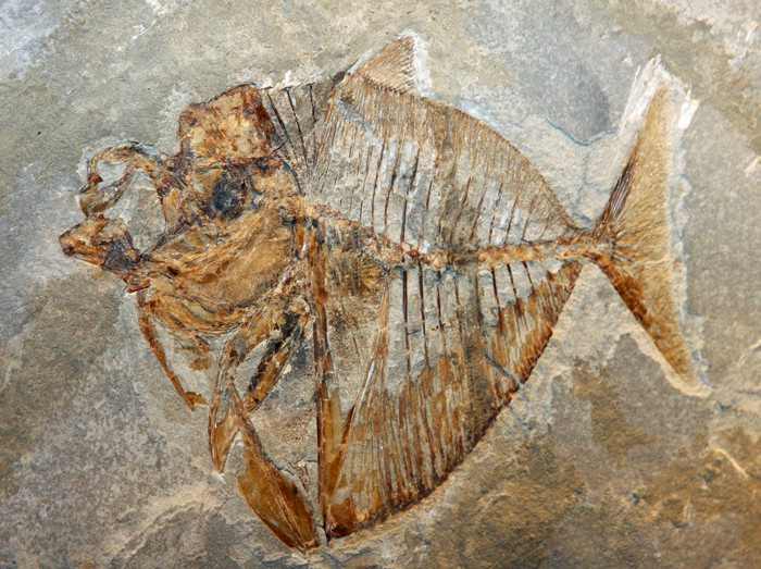Vinylová Tapeta Starověký fosilní z ryb z plemene zaniklého pro miliony rok - Vodní a mořský život