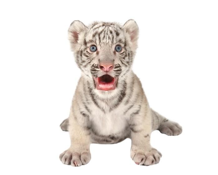 Vinylová Tapeta Dítě bílý tygr - Nálepka na stěny