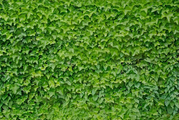 Adesivo pianta rampicante edera hedera helix sfondo - Edera da interno ...