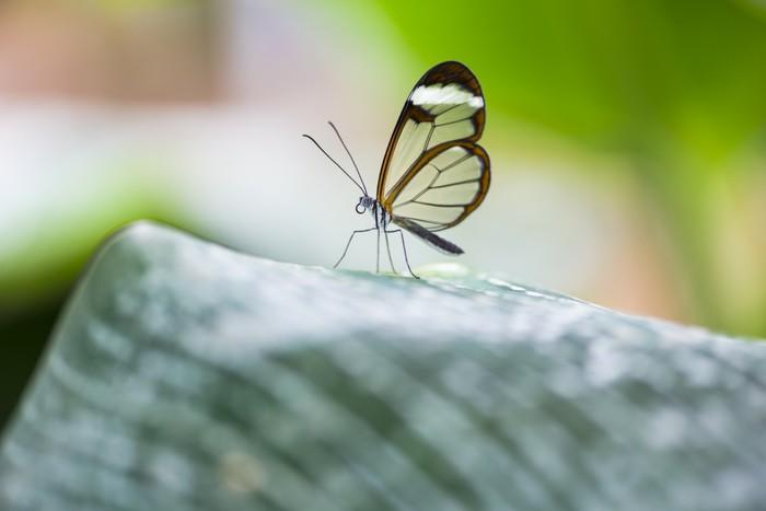 Vinylová Tapeta Glasswing motýl - Greta Morgane oto - Ostatní Ostatní