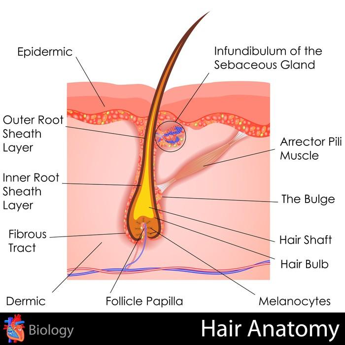 Fototapete Haar-Anatomie • Pixers® - Wir leben, um zu verändern