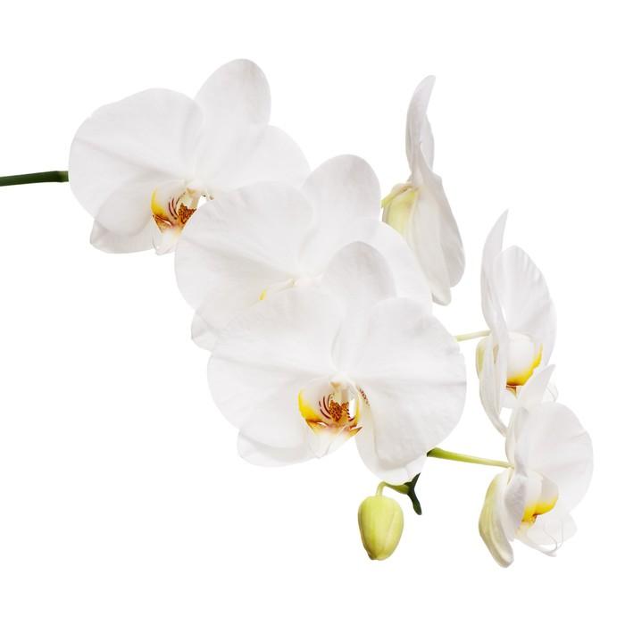 fototapete wei e orchidee isoliert auf wei em hintergrund. Black Bedroom Furniture Sets. Home Design Ideas