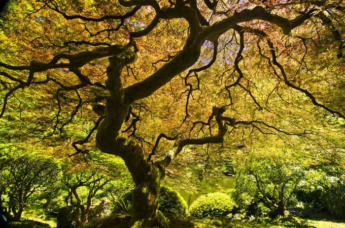 Vinilo pixerstick hermoso arce japon s con la luz del sol - Arce japones cuidados ...