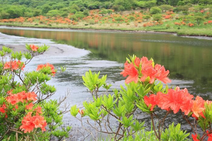 Vinylová Tapeta Japonská azalka Mt. Akagi, Kakumanbuchi, Gunma - Květiny