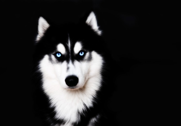 tableau sur toile gros plan sur les yeux bleus d 39 un husky sib rien de chien pixers nous. Black Bedroom Furniture Sets. Home Design Ideas