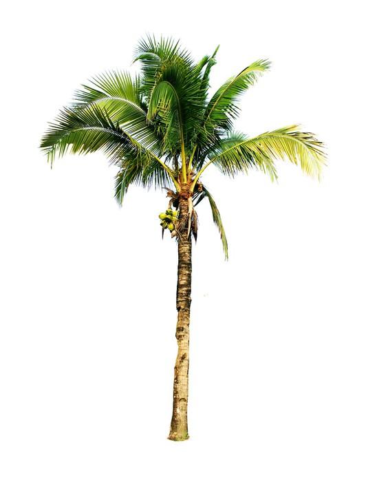 Sticker noix de coco palmier isol sur fond blanc pixers - Palmier noix de coco ...