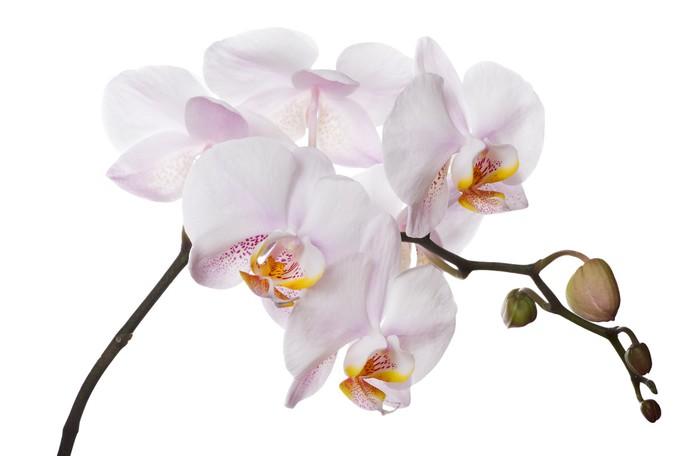 Vinylová Tapeta Orchidej větev s růžovými všiml center - Nálepka na stěny