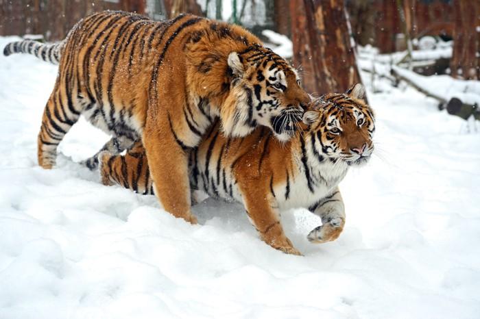 Vinylová Tapeta Siberian tiger - Témata