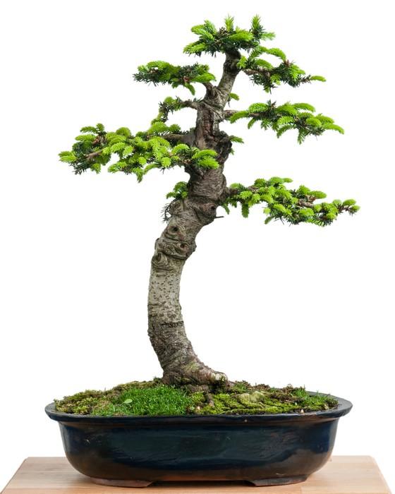 Vinylová Tapeta Fichte (Picea orientalis) als Bonsai Baum - Domov a zahrada