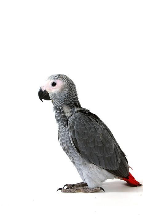 Vinylová Tapeta Červená příběh papoušek izolovaných na bílém - Nálepka na stěny