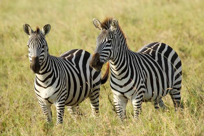 Vinylová Tapeta Společné zebry - Témata
