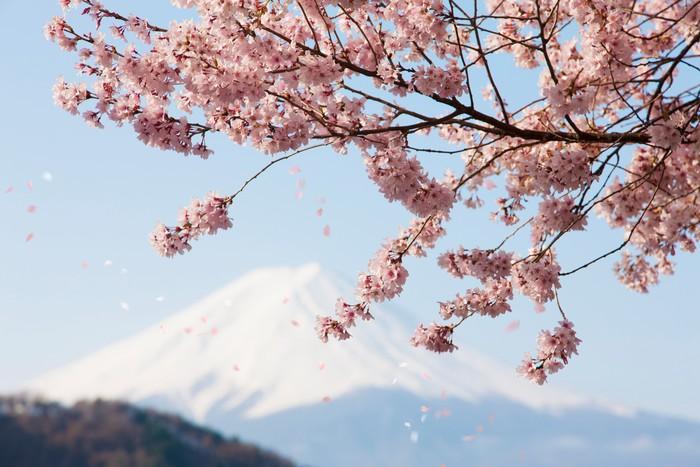 Vinylová Tapeta Cherry Blossom lístků vlající - Témata