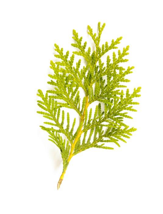 Vinylová Tapeta Thuja (Cedar) Leaf - Stromy