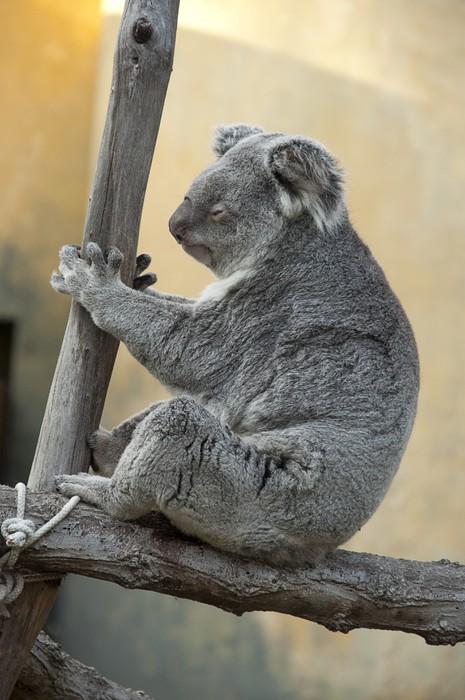 Plakát Koala - Phascolarctos cinereus - Savci