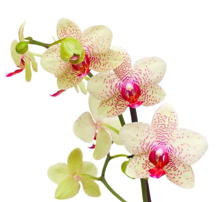 Papier Peint Vinyle Jaune et rouge des fleurs d'orchidées - Sticker mural