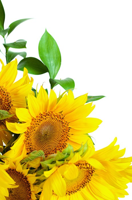Vinylová Tapeta Sunflowers - Květiny