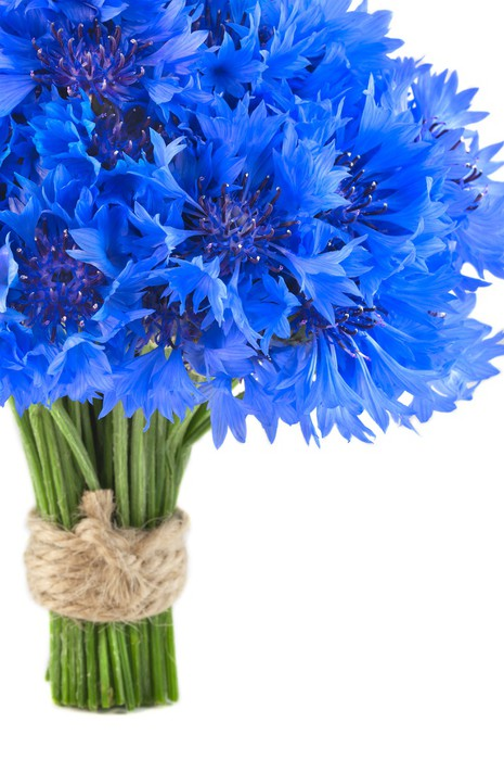 Bouquet of beautiful vivid blue flowers of cornflower isolated Wall ...