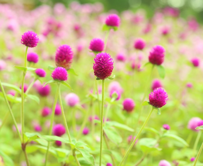Globe amaranth or Gomphrena globosa flower Vinyl Wallpaper - Flowers