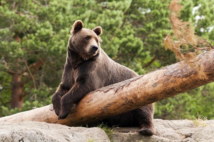 Vinylová Tapeta Medvěd hnědý - Témata