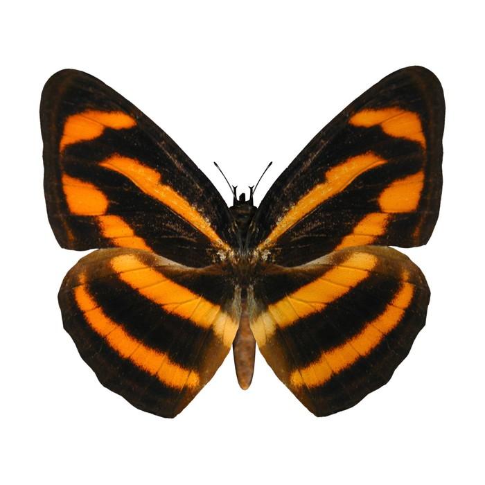 Sticker Pixerstick Birmane Lascar papillon - Thèmes