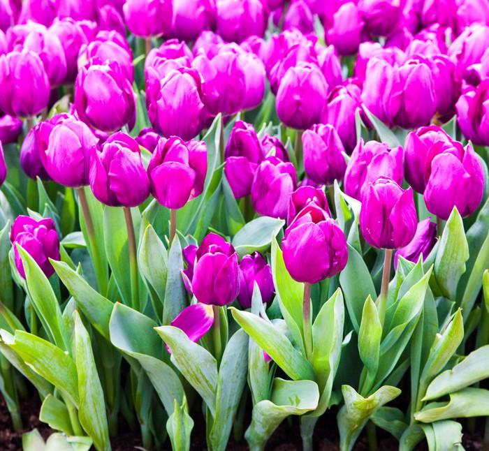 Vinylová Tapeta Barevné tulipány. Krásné jarní květiny. pozadí květin - Květiny