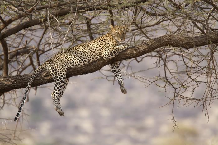 Papier Peint Vinyle Léopard sauvage reposant sur une branche d'arbre - Merveilles naturelles