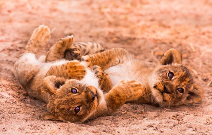 Vinylová Tapeta Cute Lion Cubs - Témata