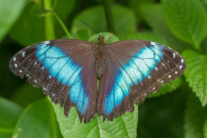 Vinylová Tapeta Blue Butterfly - Život
