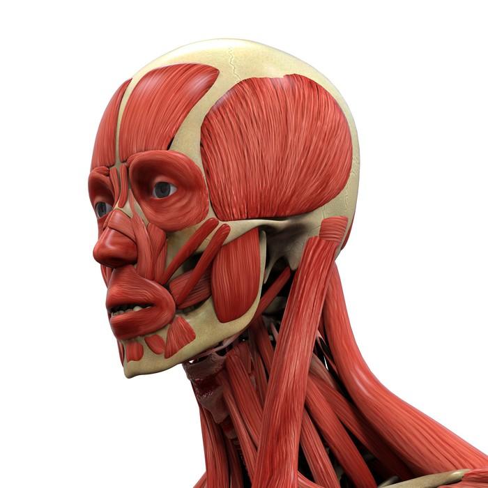 Fototapete Menschliches Gesicht Anatomie • Pixers® - Wir leben, um ...