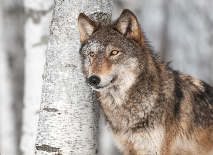 fototapete grauer wolf canis lupus die durch einzel birke pixers wir leben um zu ver ndern. Black Bedroom Furniture Sets. Home Design Ideas