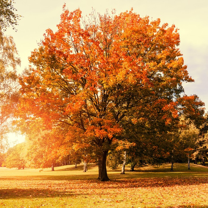 Maple tree in autumn wall mural pixers we live to change for Autumn wall mural