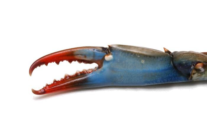 Vinilo Pixerstick Pinza de cangrejo azul • Pixers® - Vivimos para ...