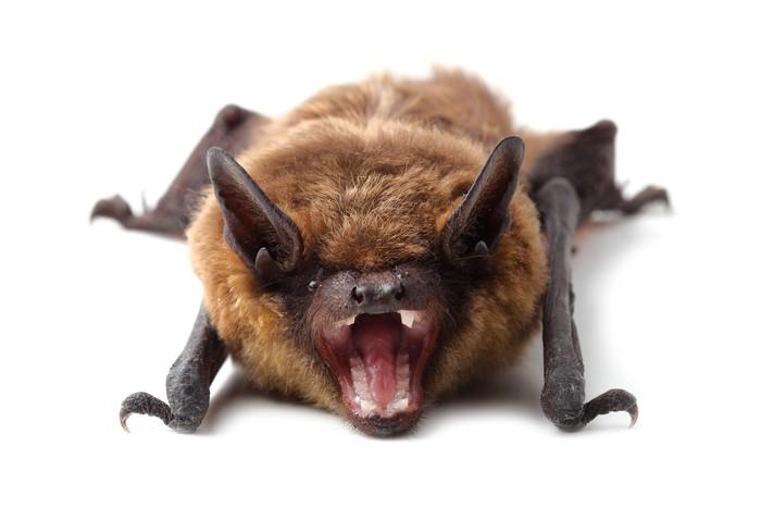 Vinylová Tapeta Bat izolovaných na bílém - Savci