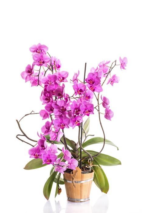 Vinylová Tapeta Phalaenopsis - Národní svátky