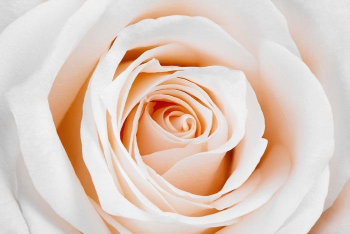 Carta Da Parati Rosa Bianca : Carta da parati bella rosa bianca u2022 pixers® viviamo per il cambiamento