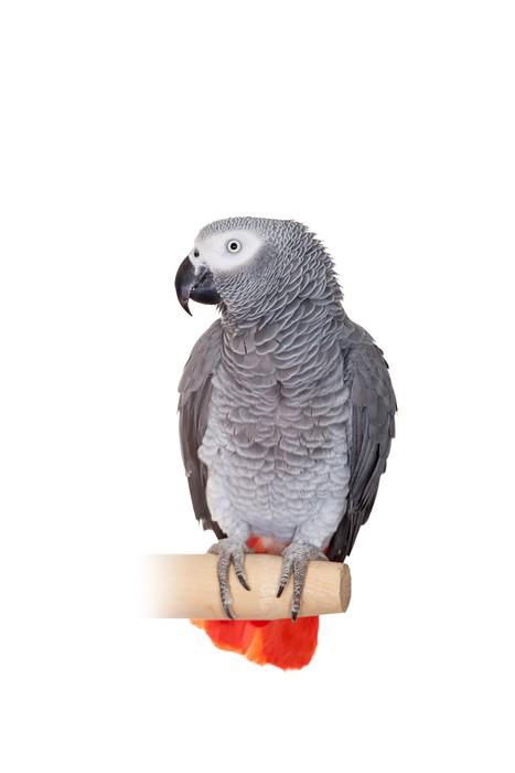 Vinylová Tapeta Papoušek šedý (Psittacus erithacus), izolovaných na bílém - Nálepka na stěny