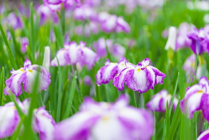 Papier Peint Vinyle Iris japonais - Fleurs