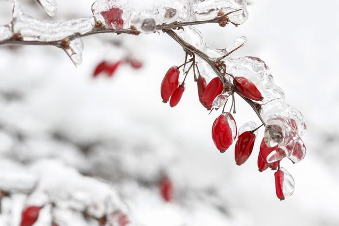 Vinylová Tapeta Berberis větev pod těžkým sněhem a ledem. Selektivní zaměření - Roční období
