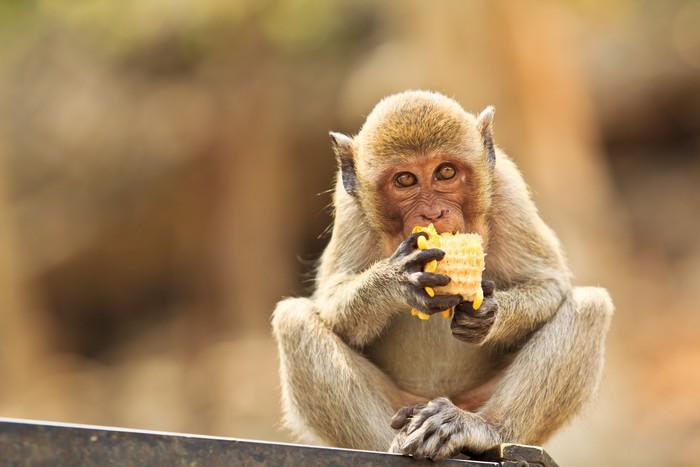 Vinylová Tapeta Opice v Thajsku - Asie
